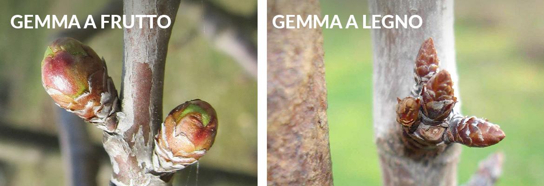 gemma frutto legno differenze